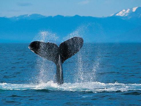 Humpback Whale鯨.jpg
