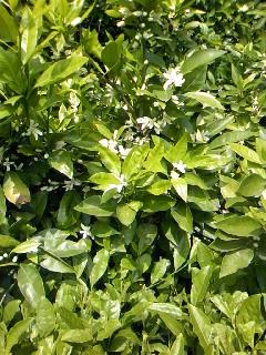 23.5.21ミカンの花.jpg