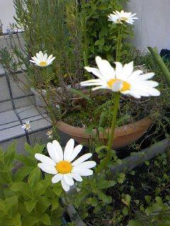 23.5.20自宅の花.jpg