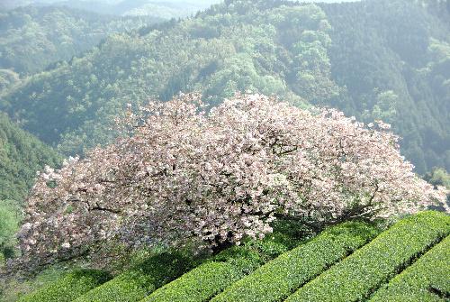 熊本県あさぎり町の桜.jpg